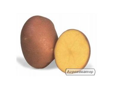 Продам насінну сортову картоплю по Україні!