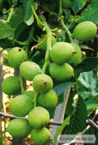 саджанці горіха ідеал,кочерженко,іван багряний,буковинський 1