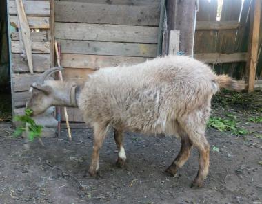 Недорого!!! Продам козу і козу!