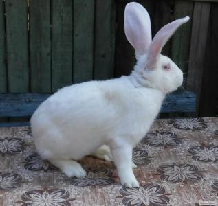 Кролі породи білий велетень.