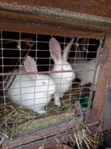 Продам кролі Білий велетень