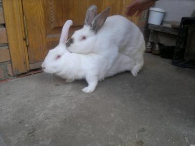 Продам кроликів м'ясної породи гібрид (хиплус)