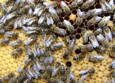 Продам пчеломатки Карпатской породы Вучківського типа, Закарпатская