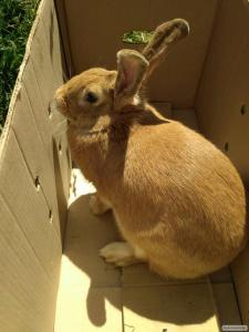 продам кролыць породи Фландер і кроленят