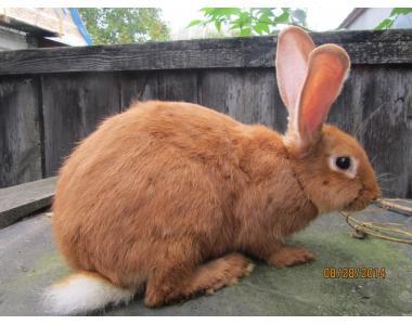 Кролики породы бургундский.