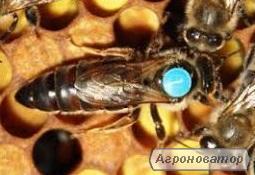 пропоную бджоломатки карніка F-1