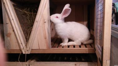 Продам кролів породи Білий велетень та Сірий велетень.