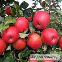 Саджанець яблука Ерлі Женева
