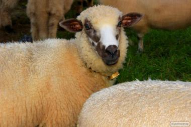 Продаємо курдючних овець
