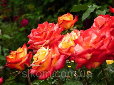Троянда флорибунда Mein Munchen (Майн Мюнхен)