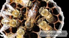 Пчеломатки украинская степная