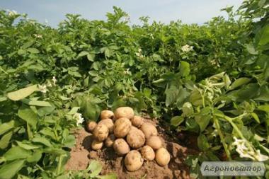 """Продам насіння картоплі надраннього сорту (Рів""""єра) 2-ї репродукції"""