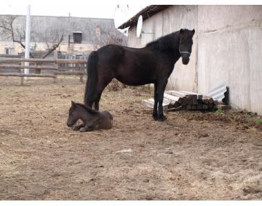 Продам лошадей гуцульской породы. Две жерьобих кобылы и жеребца