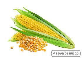 Предлагаем семена кукурузы