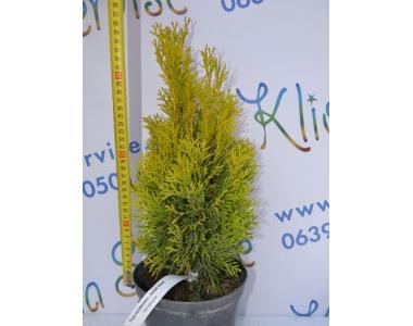 Туя західна Janed Gold 30-40 см (2л.)