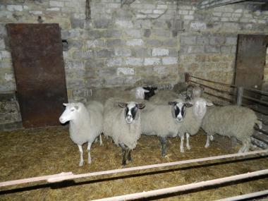 Овцы,бараны.