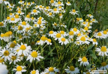 Продам ромашку лікарську оптом хорошої якості, квітки