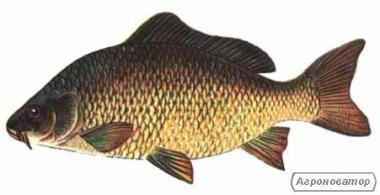 Продам живу рибу: короп, карась, товстолоб
