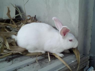 Кролики Термонська белая