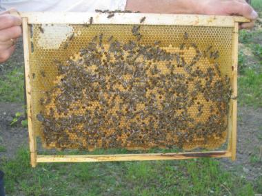 Бджолопакети карпатських бджіл 2017