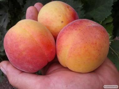 Саженцы абрикоса сорта NJA-19, от производителя