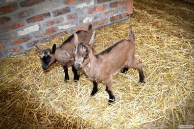 Племінний молодняк кіз Альпійської породи. Народження - березень 2019 року