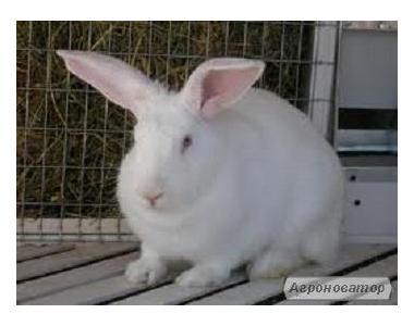 Продам кроликов породы термонська