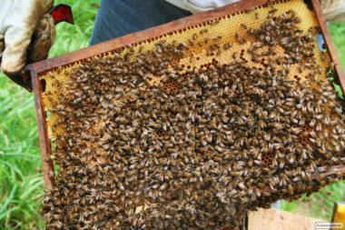 Продам чотирьох рамочні бджолопакети карпатської породи в травні 2017р