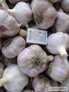 Продам озимый чеснок сорта Любаша в количестве 50кг. по цене 45грн./кг
