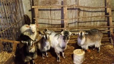 Продам молоді кози.