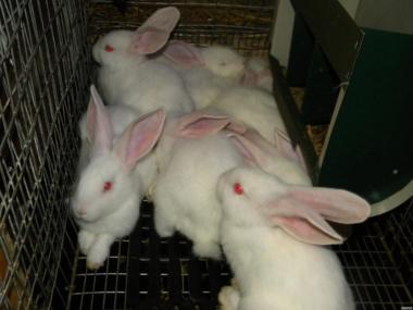 Молоді кролики породи : Термондська Біла