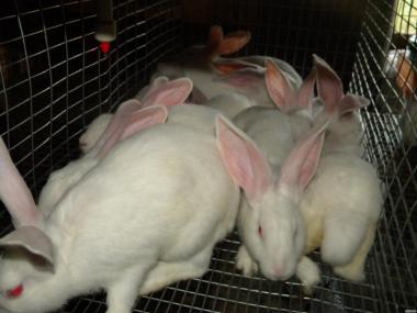 Молодые кролики породы : Белая Термондська