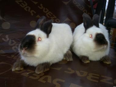 Кролі каліфорнійці