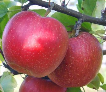 Саженцы яблони сорта Секаи Ши, от производителя