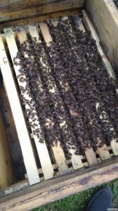 Продам пчелосемьи в Одессе, Одесской обл. Коминтерновский р-н