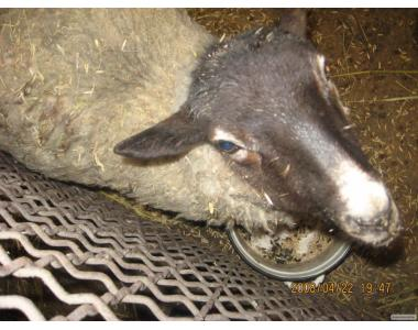 Продам баранов -производителей романовской породы.