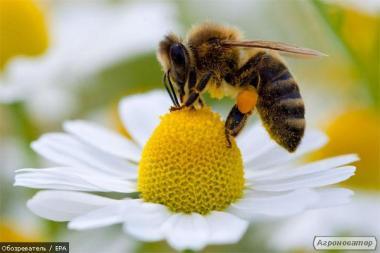 Продаю бджолопакети