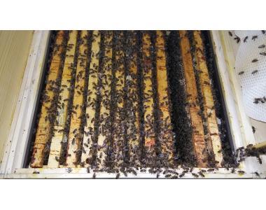 ПРОДАМ плідні бджоломатки (Карпатка)