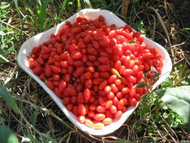 саджанці годжі (китайський барбарис, ягода довголіття)