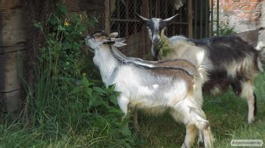 Продам две козы возрастом 1 год