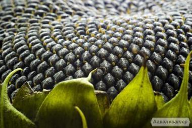 семена подсолнечника - Рембо SU