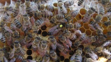 Бджоломатки карпатської породи