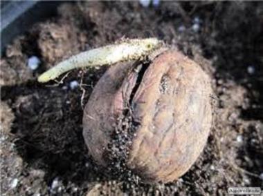 Посадковий матеріал волоського горіха