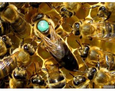 Бджолопакети, сімї, рої з власної пасіки