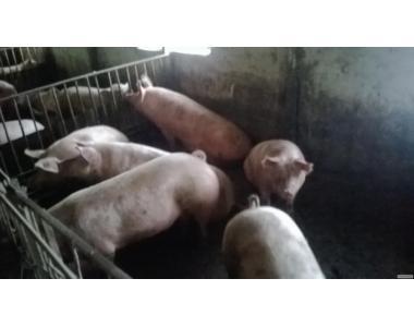 продаєм свині мясної породи