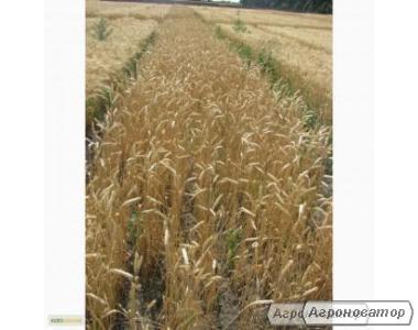 Насіння пшениці озимої - сорт Фаворитка. Еліта й 1 репродукція