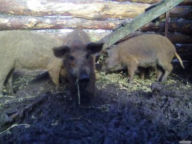 поросят, свинок , поросяток, свинки, угорської мангалиця пухової