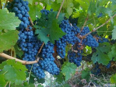Натуральне домашнє вино Зайбер (Зейбель), червоне сухе