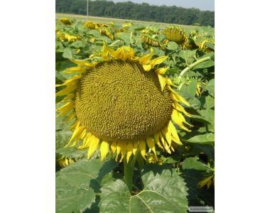 Міраж скоростиглий сорт соняшнику