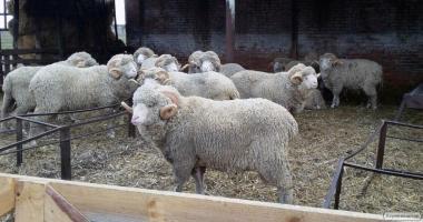 Продаж племінних овець. Романовська і Меринос